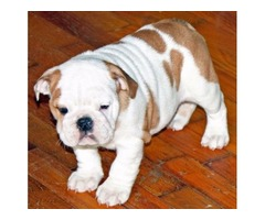 Akc english bulldog Beautiful purebred english bulldog puppies for sale