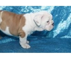 Wonderful English bulldogs available for re homing