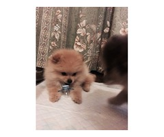 Pomeranian n husky 4sale