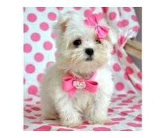 Super Adorable Teacup Maltese Puppies(402) 370-6830