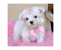 Two Top Class Maltese Puppies Available(402) 370-6830
