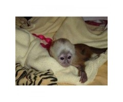 CAPUCHIN MONKEYS AVAILABLE FOR ADOPTION(402) 370-6830
