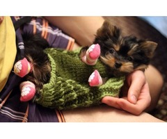 Cute CKC tiny Yorkie ( Yorkshire Terrier ) puppies