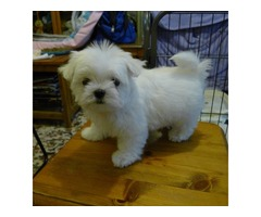 Nice and Healthy Maltese Puppies Available(402) 370-6830