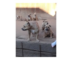 Champion American Bully Pups 3 males 2 females