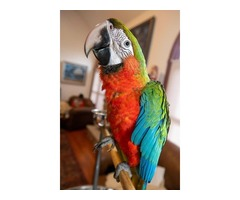 Baby harlequin macaw is available.