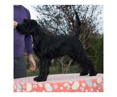 BlackStandard Schnauzer puppy