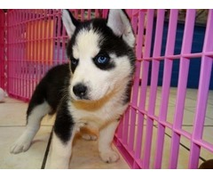 Free Siberian husky puppies available