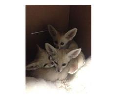 Two cute fennec fox for sale