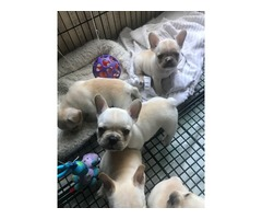 French bulldog babies  | free-classifieds-usa.com