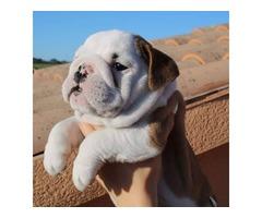 bulldog ingles comprar cachorro