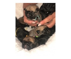 Pug Pups for sale: 3 boys and 2 girls ( 8 weeks old)