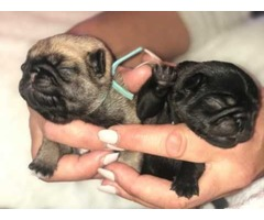 AKC Registered Pug Pups Looking Forever Home