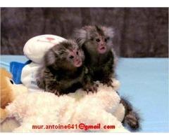 Two baby marmoset monkeys