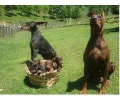Healthy Dobermann pinscherr puppies avail (913) 730-5610