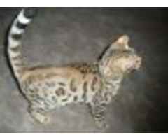 Bengal Male and female Kitten at ((325) 268-0796) for adoption