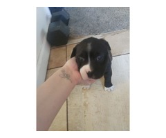 XL pitbull puppies for sale