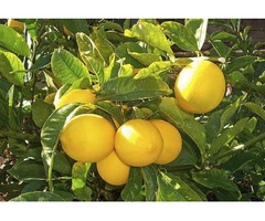 Organic Lemon Suppliers in Mexico Ensure Timely Delivery and Competitive Rates