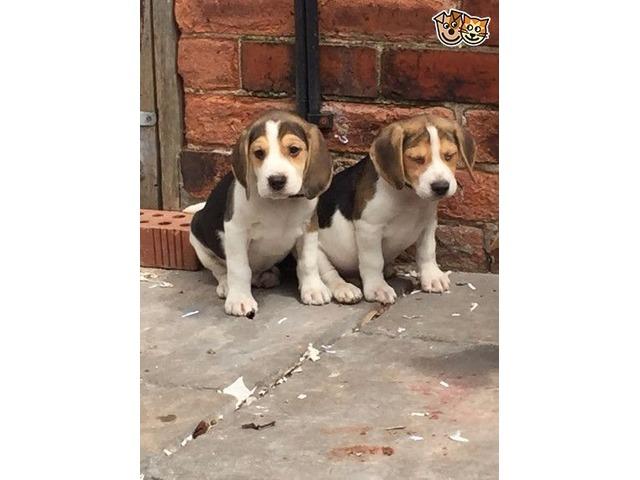 Stunning Beagle Puppies For Sale Animals California City