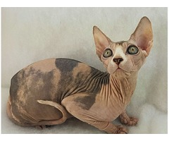 Canadian sphynx for sale