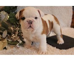 Xmas English Bulldogs For Adoption.