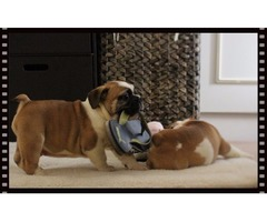 Gorgeous English Bulldog Puppies For Good Homes