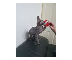 Amazing Sphynx kittens available now