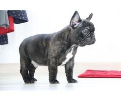 French bulldog puppy male