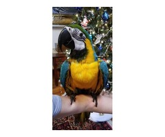 Beautiful Blue and Gold macaw baby
