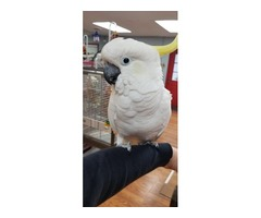 We have gorgeous sulphur-crested cockatoo.