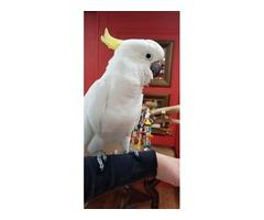 We have gorgeous sulphur-crested cockatoo.  | free-classifieds-usa.com