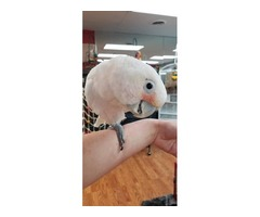 Adorable and friendly Goffin cockatoo is avaible | free-classifieds-usa.com