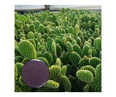 Egrow 100Pcs/Bag Opuntia Microdasys Seeds Bonsai Succulent Plants Green Radiation Protection Cactus