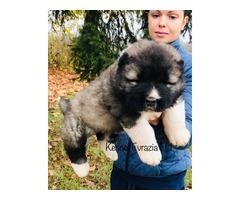 Caucasian ovcharka puppies - TOP quality