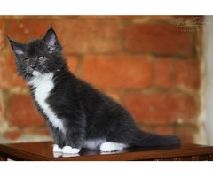 Super cute Maine coon kitten (video)