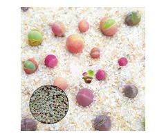 Egrow 100Pcs/Bag Succulent Plant Seeds Gibbaeum Heathii Bonsai Very Rale Succulent Bonsai Seeds