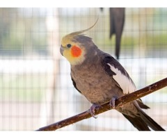 Parrots and Fertile parrot eggs for   sale (267) 368-7695