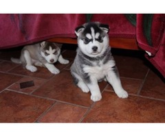 1 St Class Siberian Husky Puppies Call/Text Via (240) 545-8736