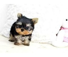 Teacup Size Yorkie puppies For Re-Homing (484)381-0472