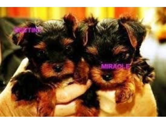 Extremely cute teacup yorkie puppies available for free