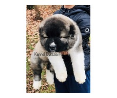 Caucasian puppies - high quality!!