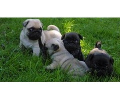 yy kk AKC Reg Fawn and Black males and females Pug Puppies For Sale $400