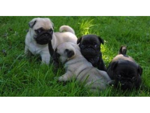 Sd Kk Akc Reg Fawn And Black Males And Females Pug Puppies For Sale
