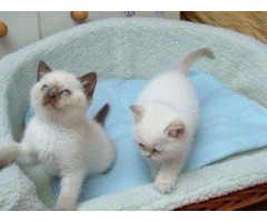 Beautiful ragdoll kittens for approval ..GIFT..