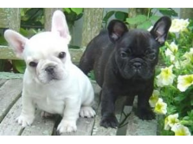 adopt french bulldog gift french bulldog puppies for adoption animals 2201