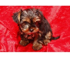 Yorkie puppies need new home