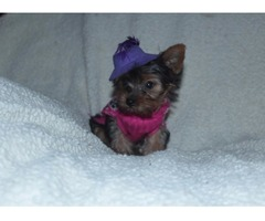 male and female Yorkie puppies for sale Text (678)586 4645