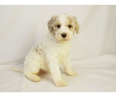 Dude is a Cream Parti Color Goldendoodle