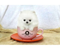 Micro Teacup Pomeranian Puppies for adoption-909-296-7704