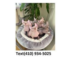 Sphynx kittens for sales!!
